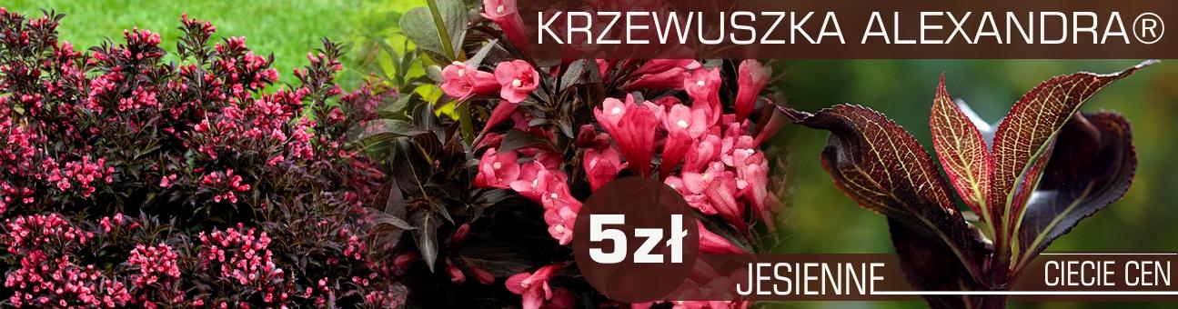 http://www.ogrodonline.com.pl/355,krzewuszka-cudowna-alexandra-registered-.html